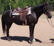 Horse-For-Sale-Alberta-Addy