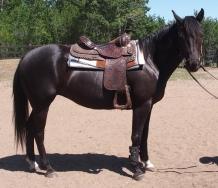 Horse-For-Sale-Alberta-Quarter