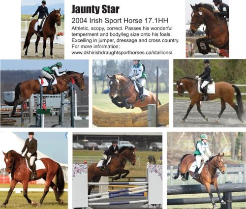 Coming to Horseman's Park 2015: Jaunty Star's Prodigy For Sale. 17.1HH Irish Draft Sport Horse Stallion Alberta Canada