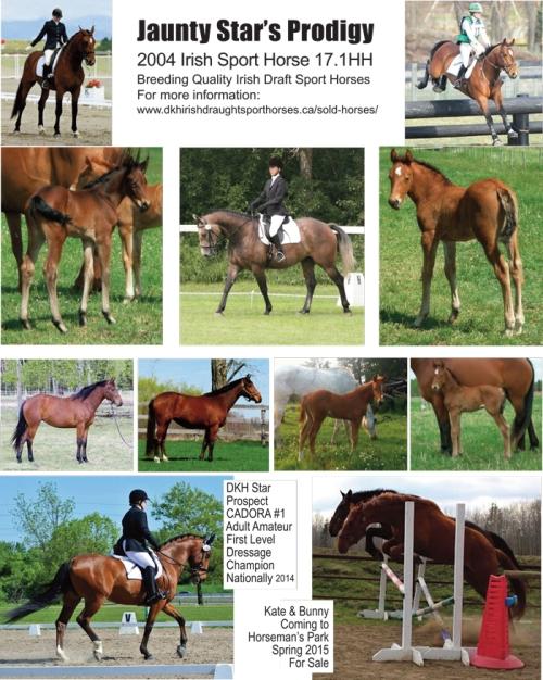 Jaunty Star 17.1HH Irish Draught Sport Horse Stallion Alberta Canada